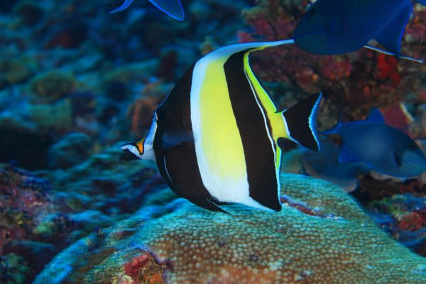 Halfterfisch (Zanclus cornutus), (Ari Atoll, Malediven, Indischer Ozean) - Moorish idol (Ari Atoll, Maldives, Indian Ocean)